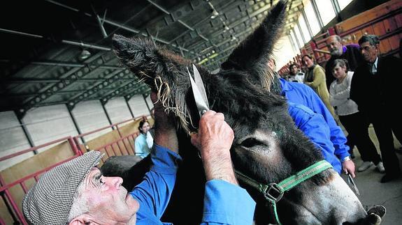 Tomás Cid esquilando una mula en una feria de Ciudad Rodrigo.